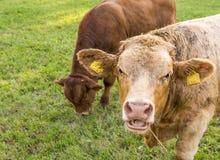 Νέος ταύρος με το ανοικτό στόμα στοκ φωτογραφίες με δικαίωμα ελεύθερης χρήσης