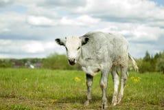 Νέος ταύρος σε ένα λιβάδι στοκ εικόνες
