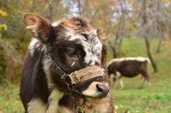 Νέος ταύρος Στοκ Εικόνες