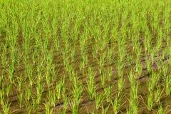 Νέος τομέας ρυζιού στην κινηματογράφηση σε πρώτο πλάνο Στοκ Φωτογραφίες