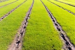 Νέος τομέας ρυζιού Στοκ εικόνα με δικαίωμα ελεύθερης χρήσης
