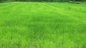 Νέος - το γεννημένο ρύζι έχει τα πράσινα φύλλα απόθεμα βίντεο