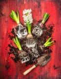 Νέος υάκινθος με το παλαιό φτυάρι κήπων και χώμα στο κόκκινο ξύλινο υπόβαθρο Στοκ Φωτογραφίες