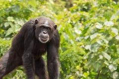 Νέος χιμπατζής Στοκ φωτογραφίες με δικαίωμα ελεύθερης χρήσης