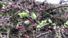 Νέος χρονικός στενός επάνω καφετής κλάδος άνοιξη φύλλων δέντρων μηλιάς απόθεμα βίντεο