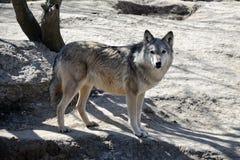 Νέος λύκος στο ζωολογικό κήπο Kyiv Στοκ Φωτογραφία