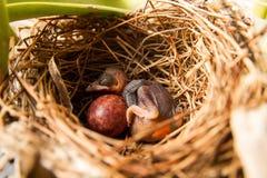 Νέος ύπνος weaverbird στη φωλιά Στοκ φωτογραφία με δικαίωμα ελεύθερης χρήσης