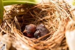 Νέος ύπνος weaverbird στη φωλιά Στοκ εικόνα με δικαίωμα ελεύθερης χρήσης