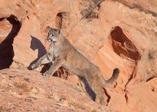 Νέος cougar δημιουργώντας μια προεξοχή κόκκινου ψαμμίτη με τον ήλιο βραδιού που πετά τη σκιά του στον τοίχο βράχου εκτός από τον στοκ εικόνες