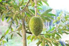 Νέος durian Στοκ Εικόνες
