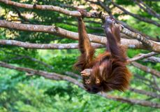 Νέος orangutan αγοριών Στοκ Εικόνες