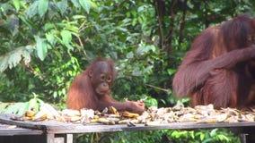 Νέος Orangutan που τρώει στη σίτιση του σταθμού απόθεμα βίντεο