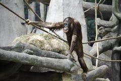 Νέος Orangutan στο δέντρο Στοκ εικόνες με δικαίωμα ελεύθερης χρήσης