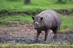 Νέο άγριο Babyrousa στη λάσπη στοκ φωτογραφία με δικαίωμα ελεύθερης χρήσης
