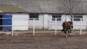 Νέο άλογο κόλπων που περπατά στη μάνδρα φιλμ μικρού μήκους
