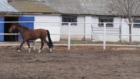 Νέο άλογο κόλπων που περπατά στη μάνδρα απόθεμα βίντεο