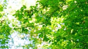 Νέο δάσος κραταίγου κλάδων την άνοιξη απόθεμα βίντεο