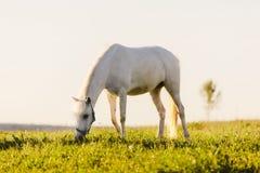 Νέο άσπρο άλογο που τρώει τη χλόη από έναν τομέα στοκ εικόνα με δικαίωμα ελεύθερης χρήσης