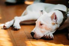 Νέο άσπρο σκυλί Dogo Argentino που βάζει σε ξύλινο Στοκ φωτογραφία με δικαίωμα ελεύθερης χρήσης