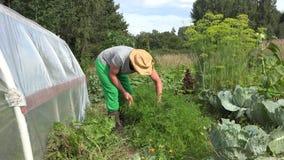 Νέο άτομο κηπουρών με καπέλων επιλογής λαχανικά καρότων συγκομιδής τα φρέσκα οργανικά κοντά στο θερμοκήπιο 4K απόθεμα βίντεο