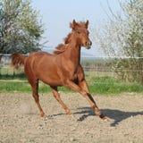 Νέο άλογο κάστανων που τρέχει την άνοιξη Στοκ φωτογραφίες με δικαίωμα ελεύθερης χρήσης