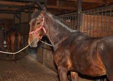 Νέο άλογο κάστανων στο σταύλο Στοκ Εικόνα