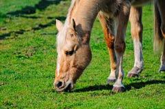 Νέο άλογο που τρώει τη χλόη στοκ φωτογραφία με δικαίωμα ελεύθερης χρήσης