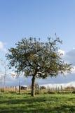 Νέο δέντρο μηλιάς Στοκ Εικόνες