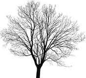 Νέο δέντρο σφενδάμνου Στοκ Εικόνες