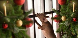 Νέο έτος Chihuahua Στοκ Εικόνες