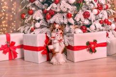 Νέο έτος Chihuahua Στοκ Φωτογραφία