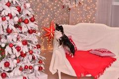 Νέο έτος Chihuahua Στοκ εικόνα με δικαίωμα ελεύθερης χρήσης