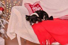 Νέο έτος Chihuahua Στοκ Φωτογραφίες
