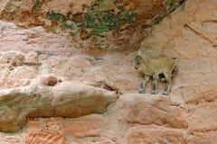 Νέο αλπικό αγριοκάτσικο, αγριοκάτσικο Capra, με τα τεράστιους κέρατα και το βράχο στο υπόβαθρο, που κρύβεται στο βιότοπο βράχου,  στοκ εικόνες