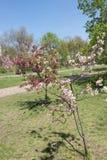 Νέο ανθίζοντας δενδρύλλιο δέντρων μηλιάς Στοκ Εικόνες