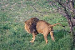 Νέο αρσενικό έδαφος σημαδιών λιονταριών από το urination στοκ φωτογραφία