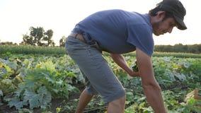 Νέο αρσενικό αγγούρι επιλογής αγροτών στο οργανικό αγρόκτημα eco φιλμ μικρού μήκους