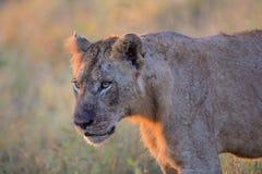 Νέο αρσενικό λιοντάρι στο εθνικό πάρκο Kruger Στοκ Εικόνα
