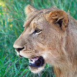 Νέο αρσενικό λιοντάρι Στοκ φωτογραφία με δικαίωμα ελεύθερης χρήσης
