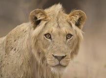 Νέο αρσενικό λιοντάρι (leo Panthera) στοκ φωτογραφία