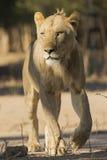 Νέο αρσενικό περπάτημα λιονταριών στοκ φωτογραφία