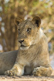 Νέο αρσενικό πορτρέτο λιονταριών στοκ εικόνες