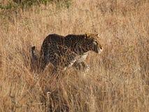 Νέο αρσενικό leopard Στοκ εικόνα με δικαίωμα ελεύθερης χρήσης