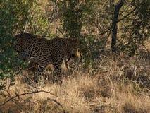 Νέο αρσενικό leopard Στοκ φωτογραφίες με δικαίωμα ελεύθερης χρήσης