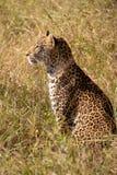 Νέο αρσενικό leopard Στοκ Φωτογραφία