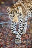 Νέο αρσενικό leopard Στοκ Φωτογραφίες
