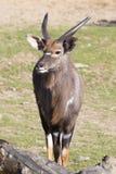 Νέο αρσενικό nyala πεδινών, angasii Tragelaphus Στοκ εικόνες με δικαίωμα ελεύθερης χρήσης