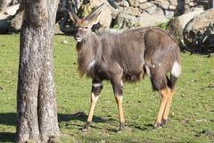 Νέο αρσενικό nyala πεδινών, angasii Tragelaphus Στοκ Φωτογραφίες