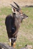 Νέο αρσενικό nyala πεδινών, angasii Tragelaphus Στοκ Εικόνα