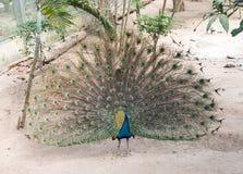 Νέο αρσενικό peacock με τα φτερά έξω στοκ φωτογραφίες